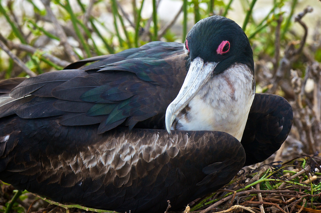 Great Frigatebird femaleTower Island