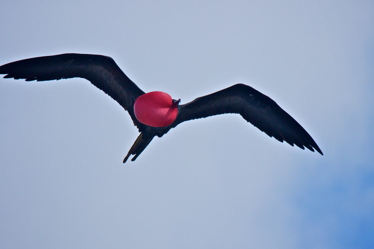 Great Frigatebird male in flight