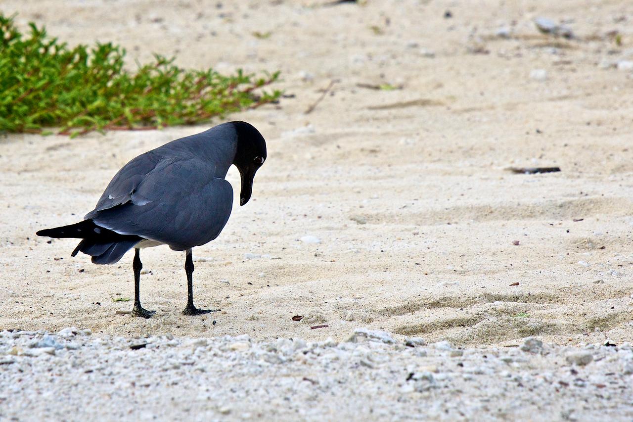 Lava Gull, Tower Island
