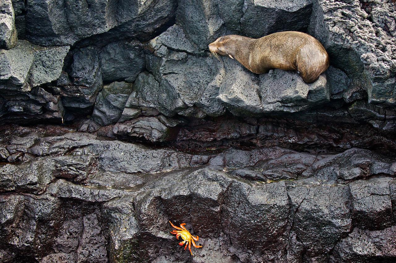 Fur seal and Sally lightfoot crab, james Island