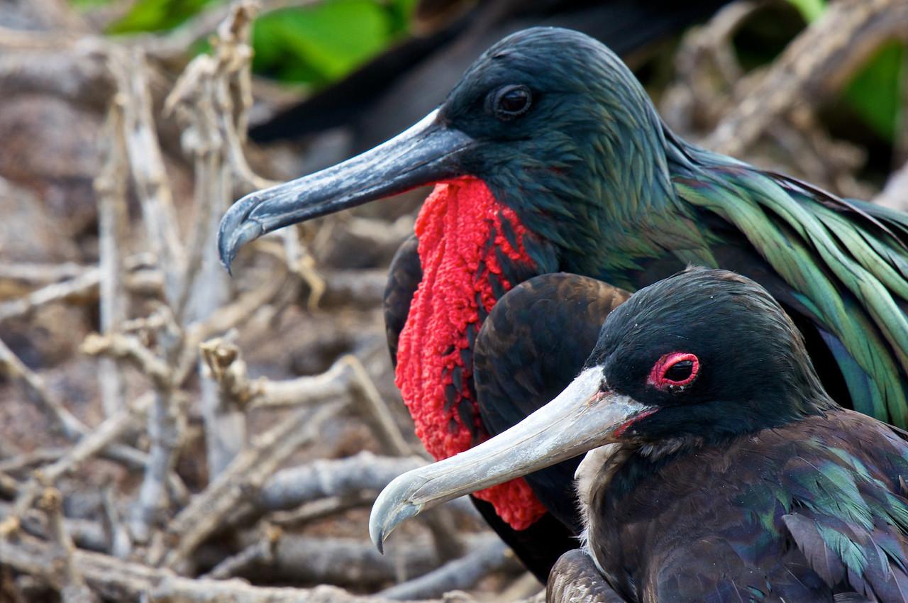 Great Frigatebird pair, tower island