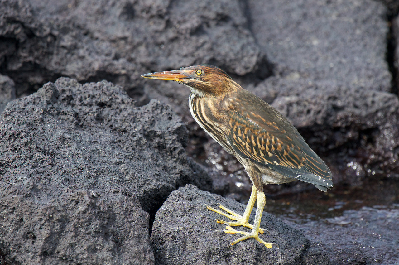 Striated Heron (formerly Lava Heron)