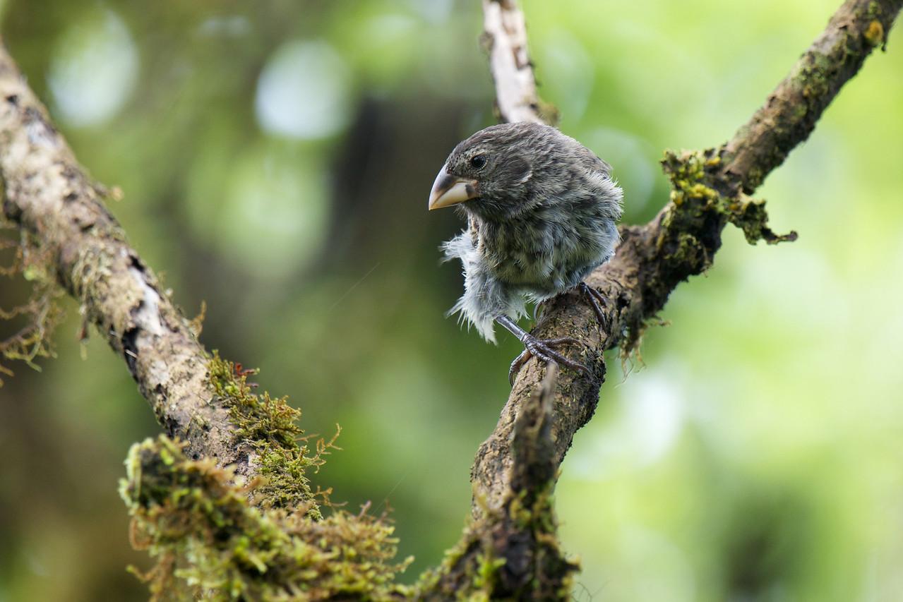 One of Darwin's Finch