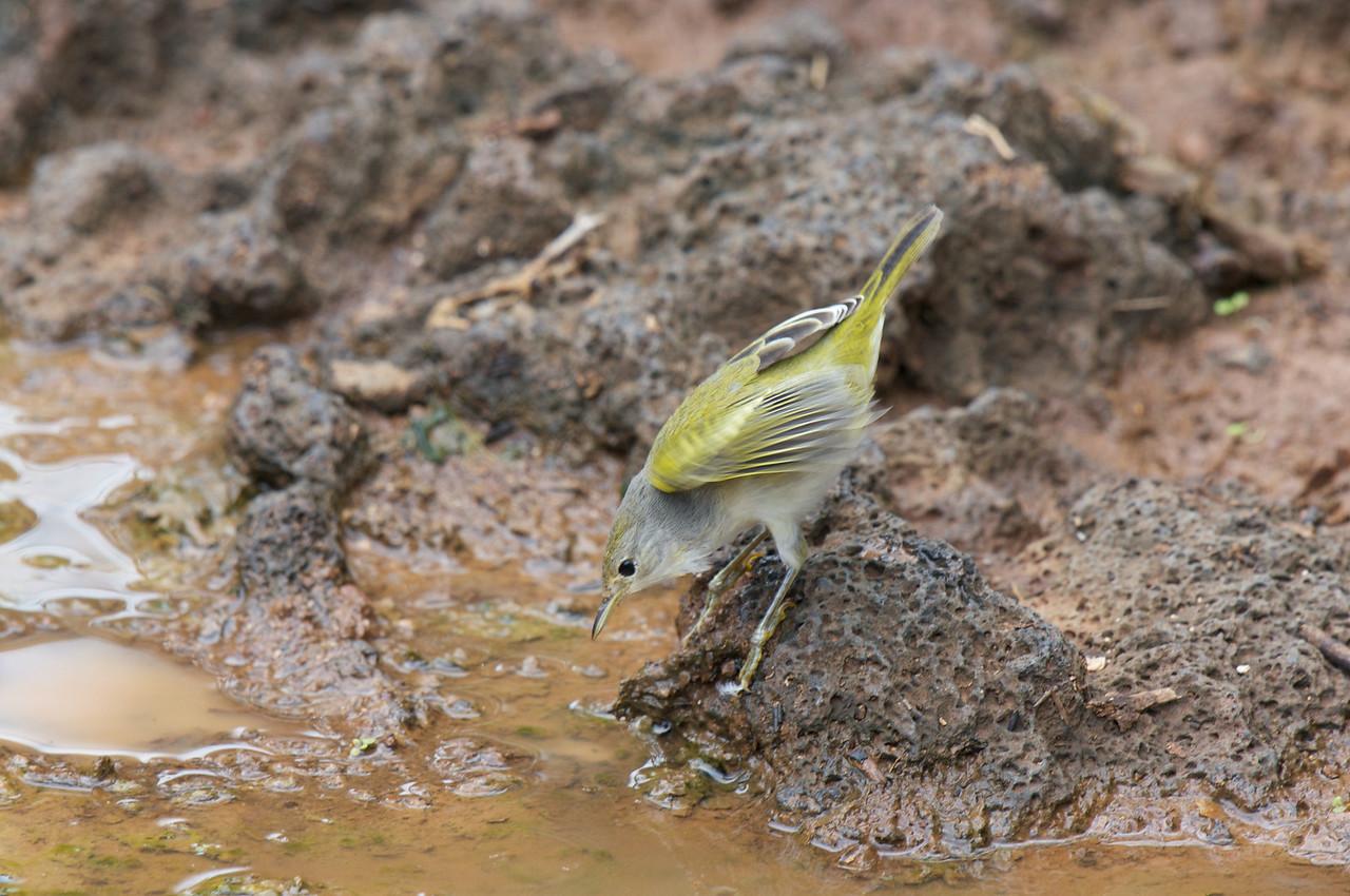 Yellow Warbler hunting