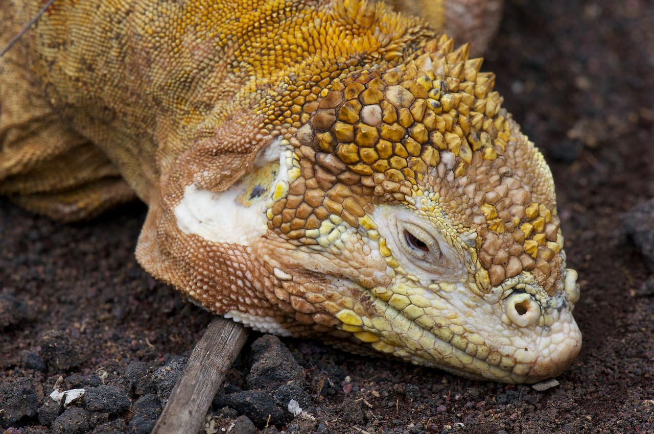Land Iguana Darwin Research Center