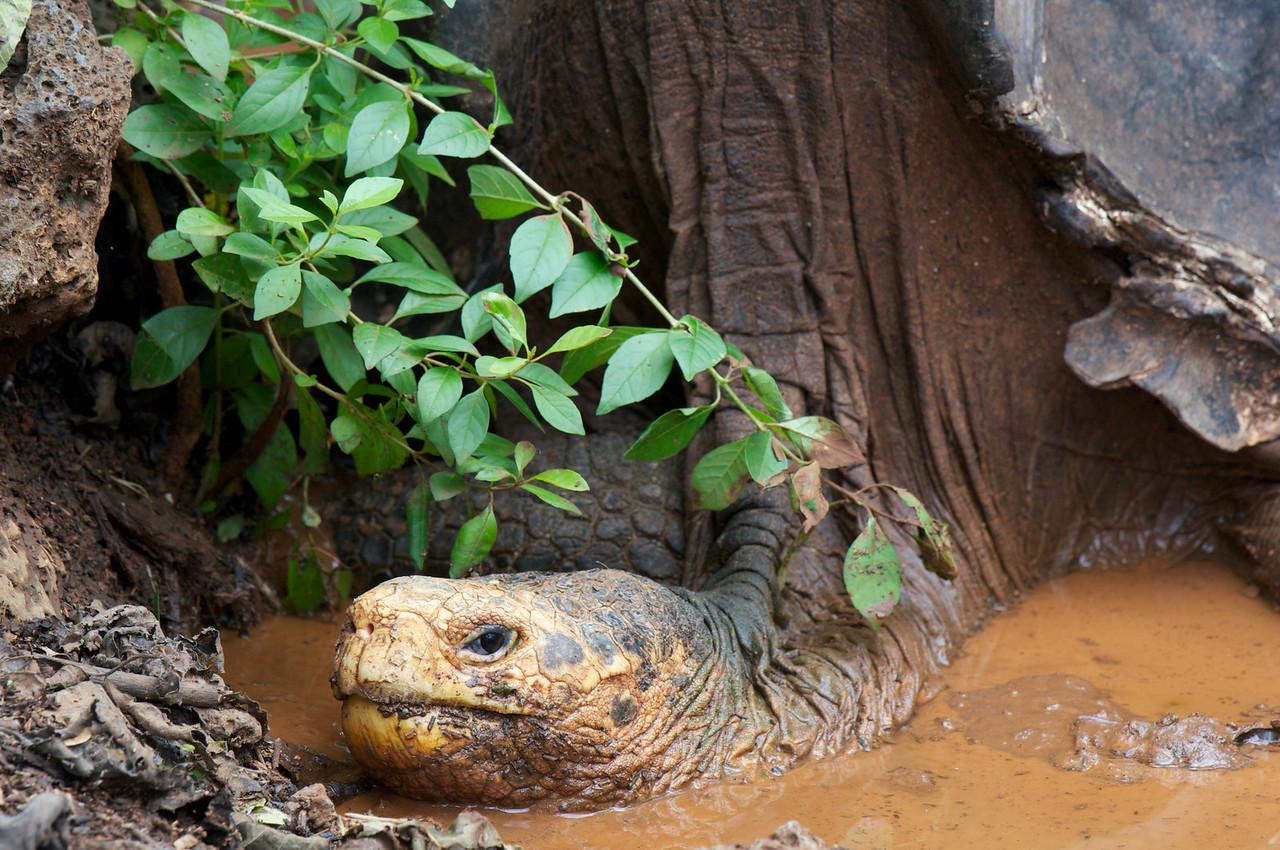 Galapagos Giant Tortise
