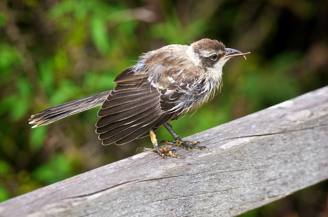 Ill Galapagos Mockingbird with cross bill