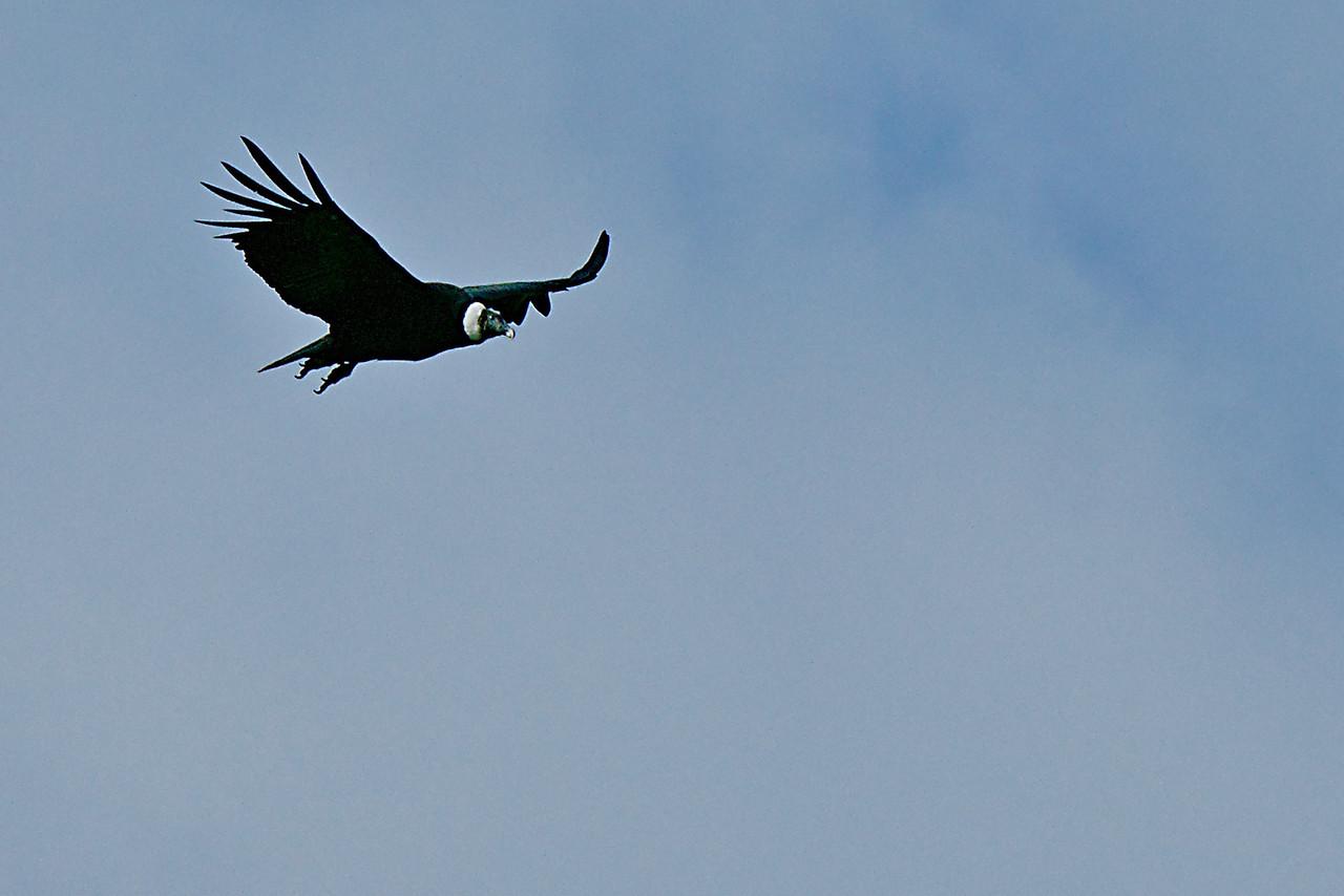 Patagonia - Andean Condor