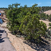 Junipers and Pinyon Pines