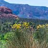 Wildflowers at Sedona
