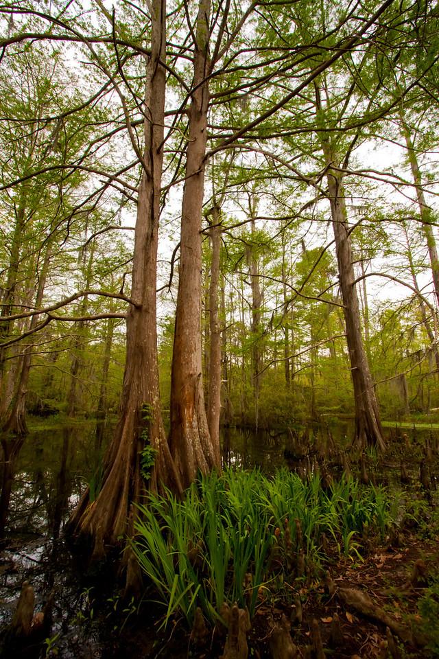 cyress swamp, mandeville LA