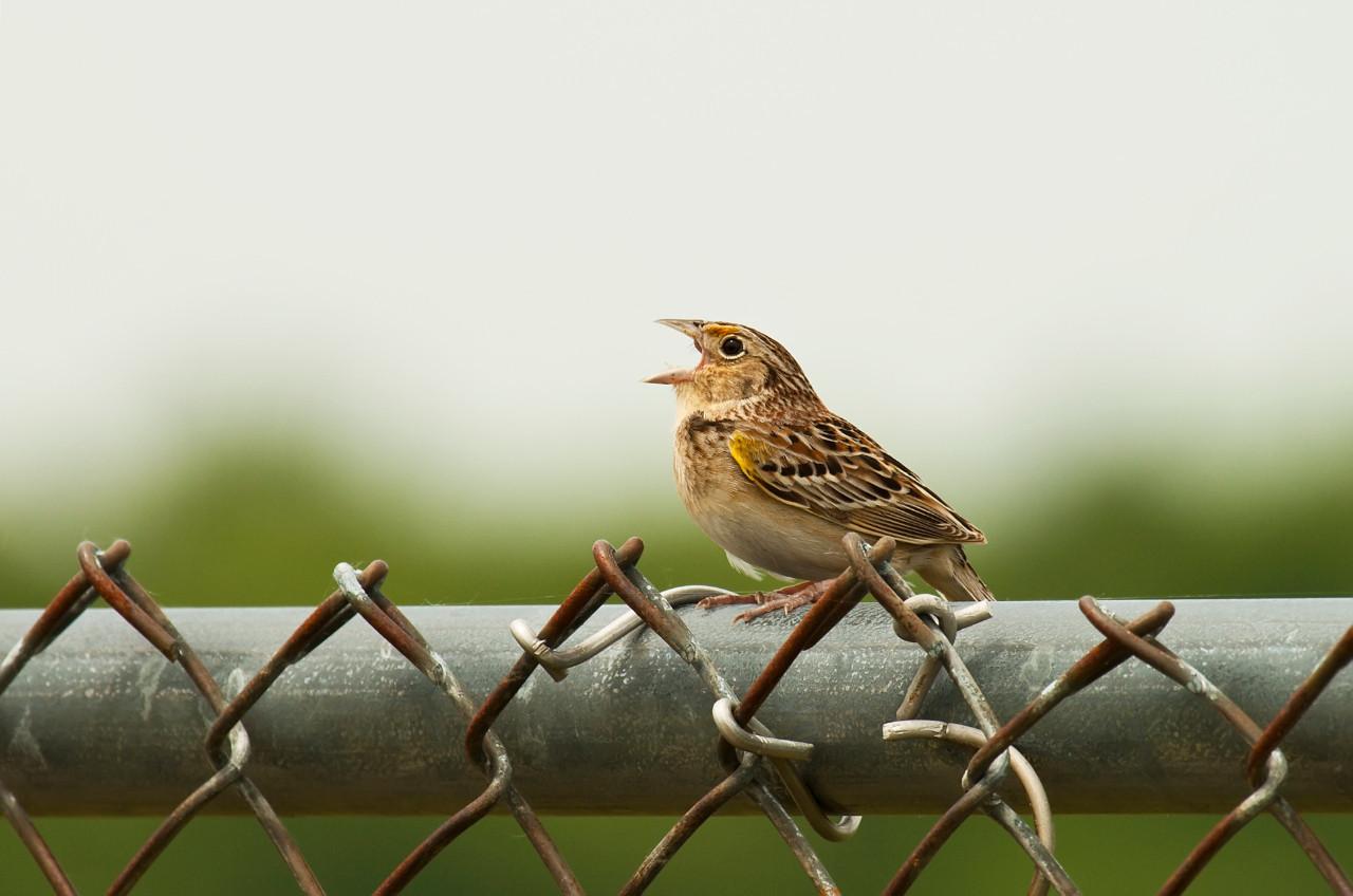 grasshopper sparrow, saratoga airport