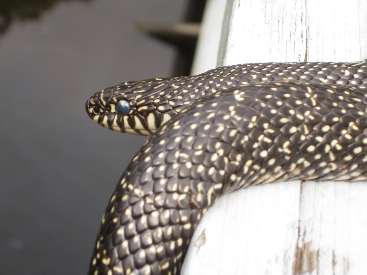 backyard wildlife: speckled kingsnake -- mandeville LA