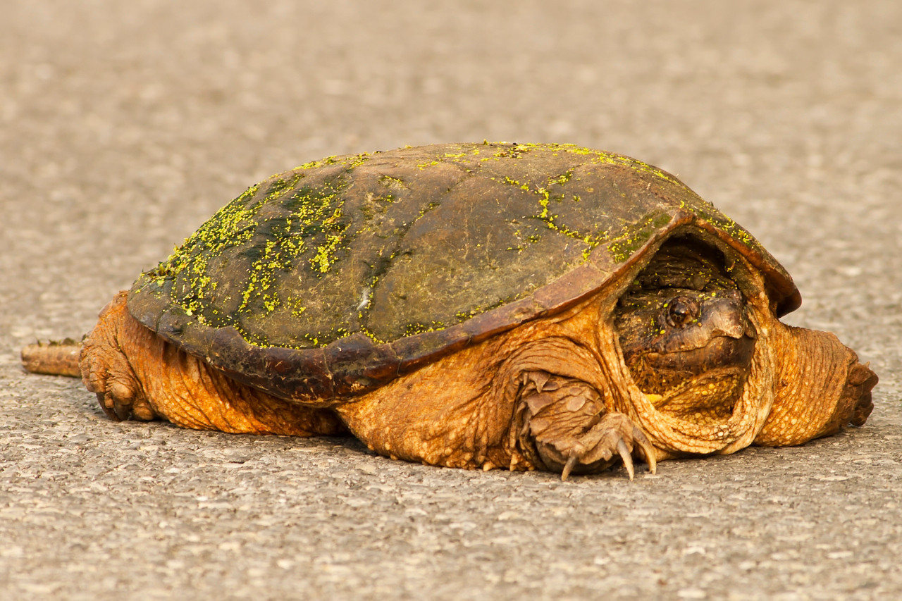 vischer ferry snapping turtle