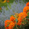 Butterfly weed, with lavender