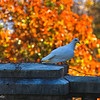 11-6-16: White bird at Swannanoa