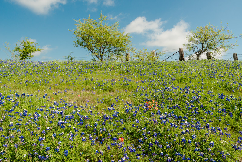 Bluebonnets of Texas