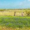 Grazing cattle and bluebonnets