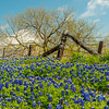 Bluebonnets and old fence