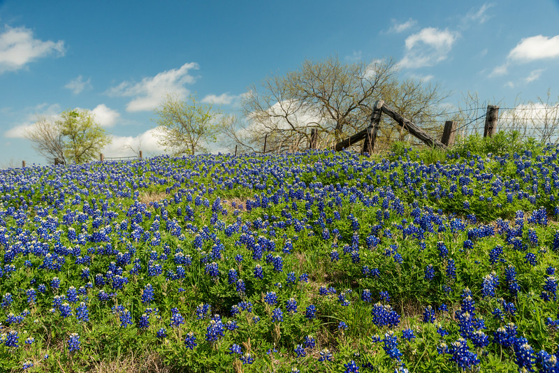Bluebonnets and fence