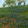 Bluebonnets and Indian paintbrush in pasture