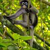dusky leaf monkey, kaeng krachan national park