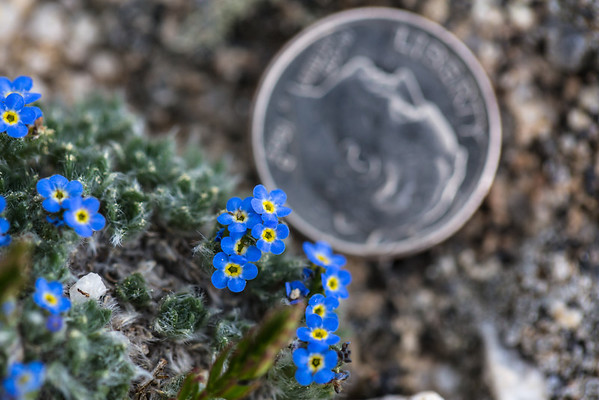 Alpine Forget-me-knots have the same intense blue color of their lowland cousins, but are incredibly tiny.