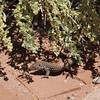 Lizard, Wupatki National Monument