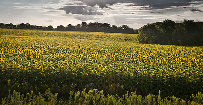 Minnesota - sunflowers bathed in early morning sunshine