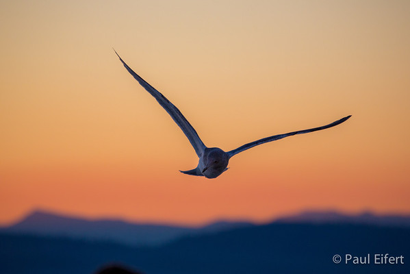 Soaring Sunset Seagull