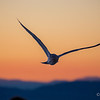 Soaring Sunset Seagull