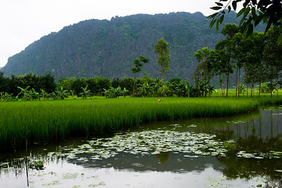 Ninh Binh Paddy Fields