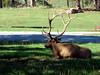 Resting Elk in Bear Country