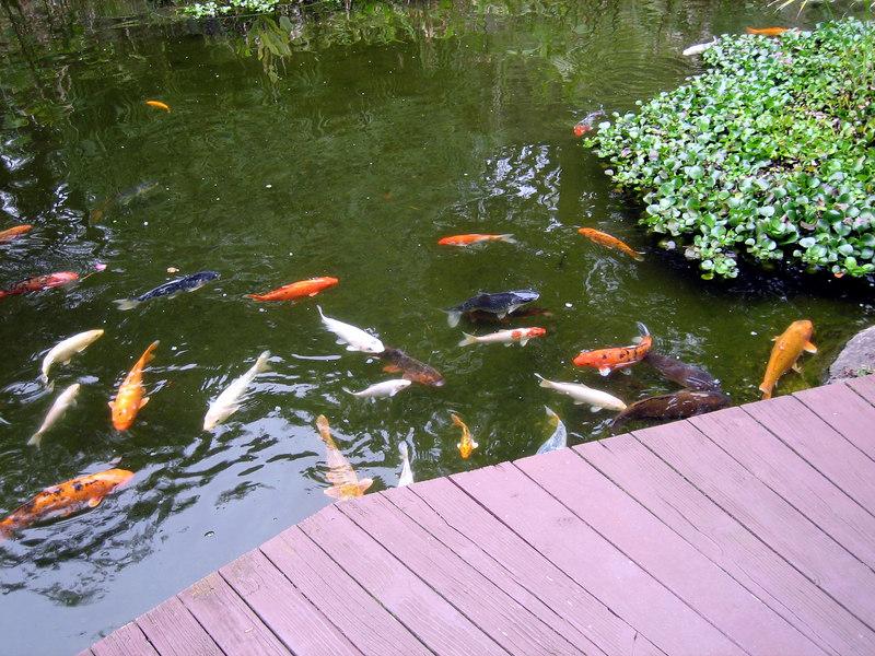 Koi at Kula Gardens