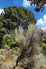 Sagebrush and Pine