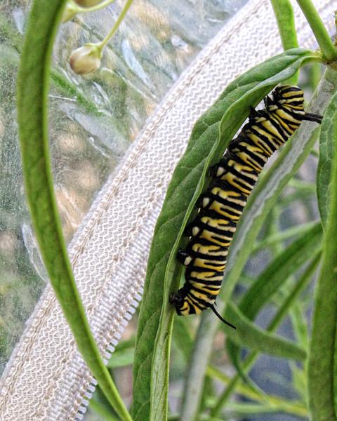Baby Monarch