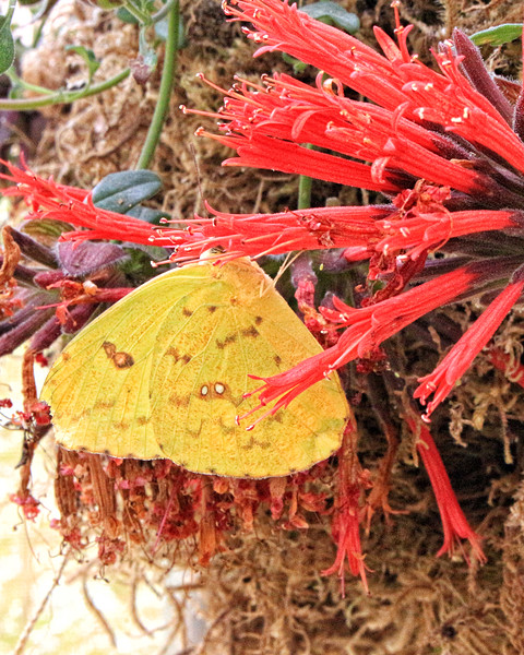 Sulfur On Red Flowers