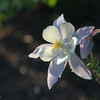 Columbine, Crested Butte