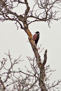 lewis' woodpecker