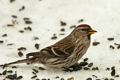 common redpoll, adirondacks