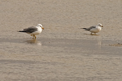 california gull (l) and ring-billed gull