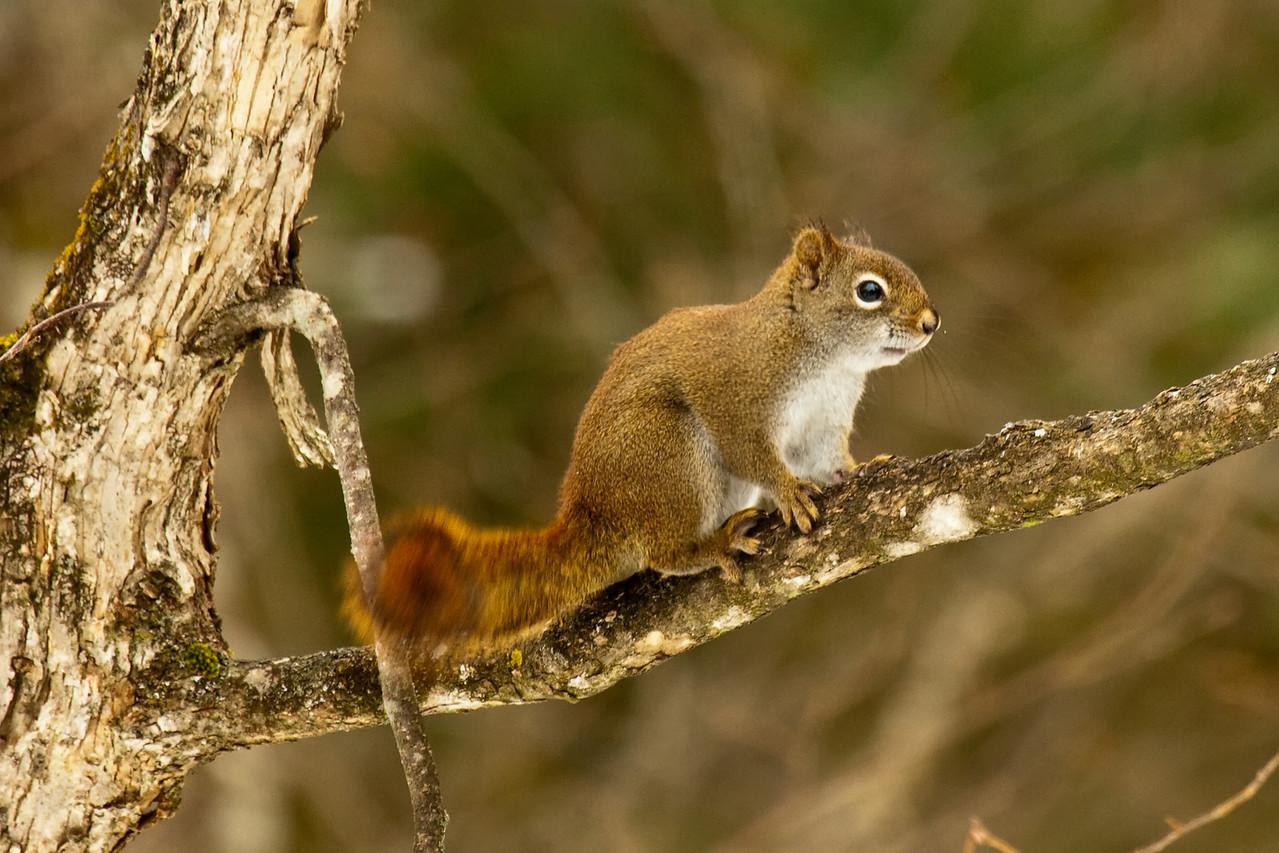 red squirrel, adirondacks