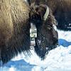 Bison with Radio Collar