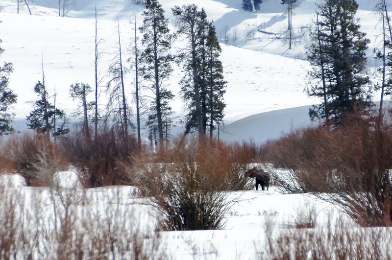 Moose are a bit camera shy