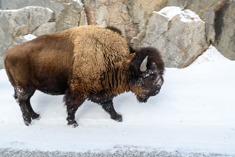 Bison Within Reach