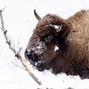 Crooked Horned  Bison Cow