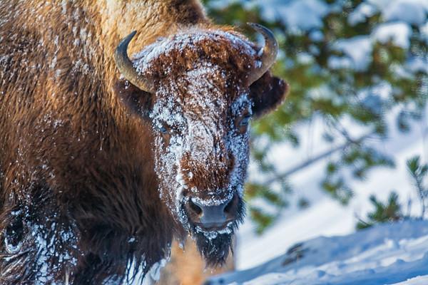 Wildlife of Yellowstone