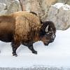 Bison Within Reach