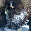 Bison Wearing Radio Collar