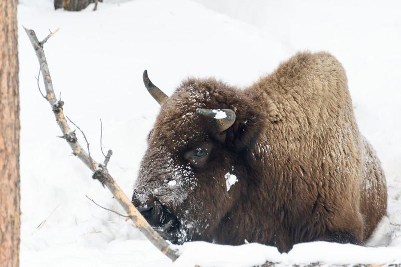 Crooked Horned Bison